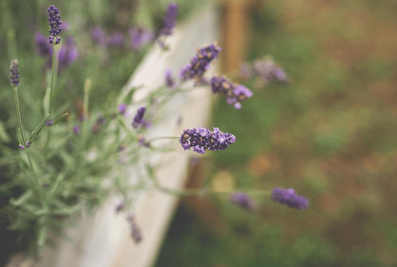 purple lavender flowers in a garden box