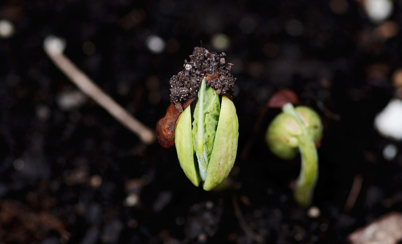 bean plant sprouting in dirt